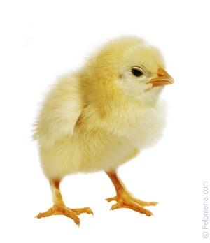 Цыплята и курица по соннику