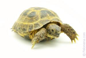 Сексуальное удовлетворение черепахи