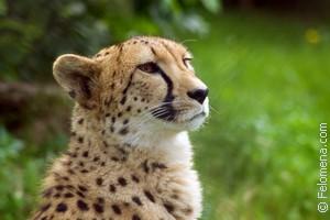 Сонник напала большой леопард