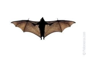 Летучая мышь бабочка сонник