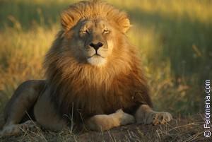 Сонник Лев 😴 приснился, к чему снится Лев во сне видеть?