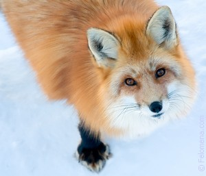 К чему снится лиса. К чему снится лиса по соннику