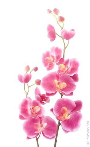 цветущая Орхидея по соннику