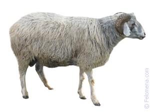 Овца с ягнятами по соннику