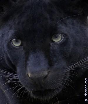черная Пантера по соннику