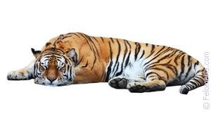 гладить Тигра по соннику