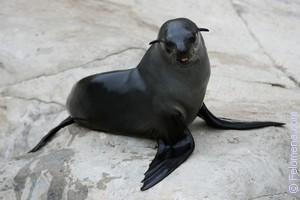Сонник тюлень морской котик