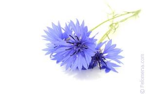 Цветок василек сонник