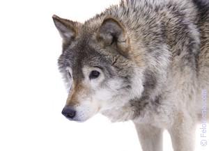 Волк нападает по соннику