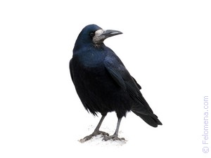 мертвая Ворона по соннику