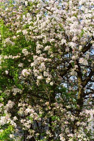 цветущая Яблоня по соннику