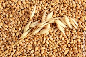 Зерна кукурузы по соннику