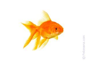 Золотая рыбка в аквариуме по соннику