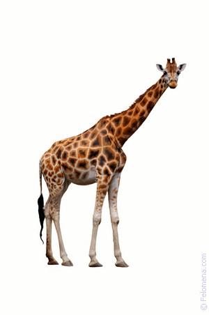 Сонник Жираф ? приснился, к чему снится Жираф во сне видеть?